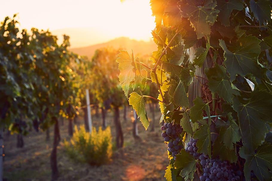 italy-tuscany-vineyards-wine-grapes-sunset